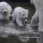 Two polar bear cubs follow their mother as they venture outside their enclosures for the first time since they were born at Ouwehands Zoo in Rhenen, Netherlands. Three cubs were born Nov. 22, 2014 but one of the triplets died soon after birth, the cub's mother and grandmother live at the zoo, their father now lives at the Yorkshire Wildlife Park in England. (AP Photo/Peter Dejong)<span class=