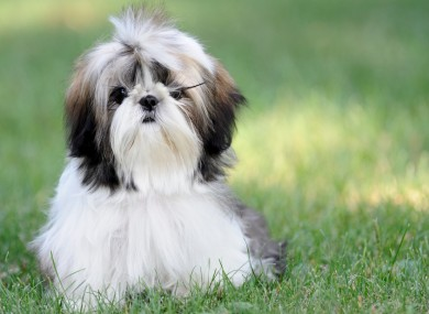 File photo of a Shih Tzu.