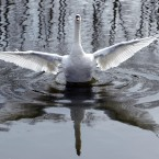 A swan splashes about in a pond in Middlesbrough as the warm weather continues across the UK.