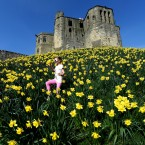 Six year old Kadie Lane strolls through the Daffodils at Warkworth Castle in Northumberland.<span class=