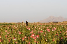 Mystery, super poppy seeds could double how much opium the Taliban can sell