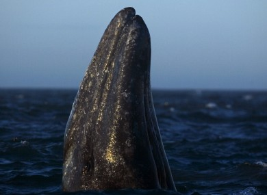 A gray whale surfaces.