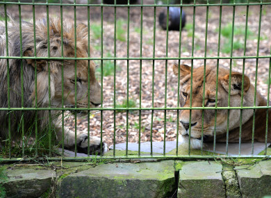 Lions, behind a fence. We can all assume they're not to be petted, right?