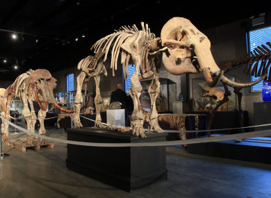 File photo of four mammoths that were for sale at another auction last month.
