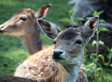 Image result for Dutch town overrun with deer plan to use lion manure to scare them off