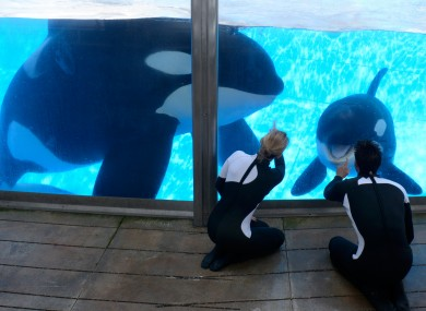 Killer whale Tilikum (left) during a training session at SeaWorld earlier this month