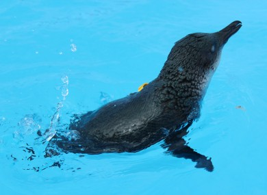 A penguin who was found in the Bay of Plenty covered in oil - it has since been cleaned up