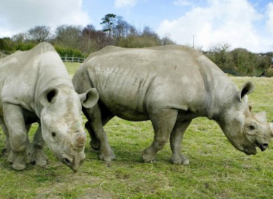 Two black male rhinos trying hard not to become extinct.
