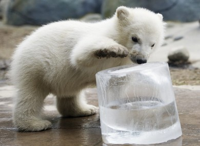 A three-month-old polar bear cub plays with a block of ice at Toronto Zoo