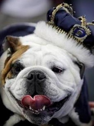 Beautiful bulldog Tyson