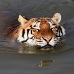 A Siberian tiger enjoys a cooling dip in the pool at the Huangshan Mountain Tiger Park. (Photo by Shi Guangde/ChinaFotoPress/PA)