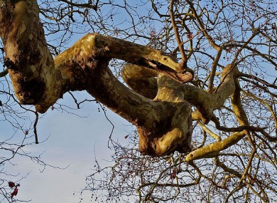 A plane tree similar to the one in a distressed state at Leinster House.