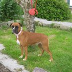 Katie was named after another young female boxer we've all heard about, and is a kind and fun dog. (Image: Madra.ie)