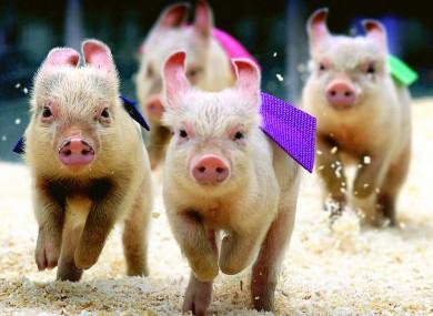 Yay! Ireland has a large pig population.
