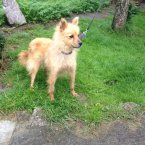 This lively Pom needs a home which can provide some grooming and pampering to help build her coat. (Image: Madra.ie)