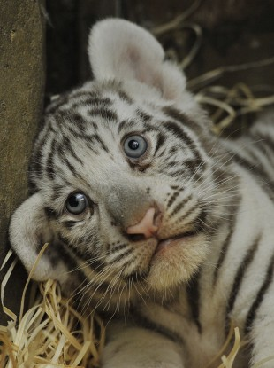 File photo of (an adorable) tiger cub