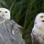 These two snowy owls joined the rest of the crew at Dublin Zoo last year.