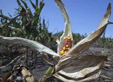 Damaged corn in a Nebraskan field last August after a summer of drought in the USA.