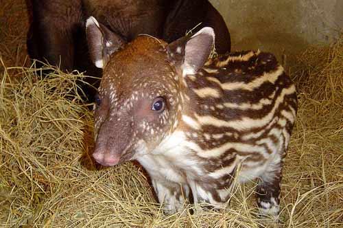 Tasmanian Devil Baby