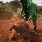 Two-month-old orphaned baby elephant Ajabu is given a dust-bath in the red earth after being fed milk from a bottle by a keeper, as she is too young to do it herself, at an event to mark World Environment Day at the David Sheldrick Wildlife Trust Elephant Orphanage in Nairobi, Kenya. Trust founder Daphne Sheldrick said at the event, which was attended by U.S. Ambassador to Kenya Robert Godec, that they are seeing an upsurge in orphaned elephants because of the poaching crisis occurring across Africa. (AP Photo/Ben Curtis)