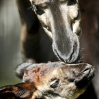 K'tushka the newborn Okapi sticks close to mum Lodja on her first adventure outside her stable at Bristol Zoo Gardens, where Summertime babies throughout the zoo are enjoying the warm weather. (Ben Birchall/PA Wire)