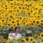 Visitors enjoy viewing of sunflowers at the Sunflower Festival in Zama near Tokyo. More than half million of sunflowers are planted. (AP Photo/Koji Sasahara)