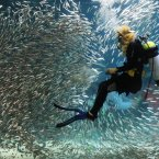 A diver performs with sardines as part of summer vacation events at an Coex Aquarium in Seoul, South Korea. (AP Photo/Ahn Young-joon)