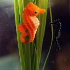 Aquarist at Sea life Aquarium London have given a tiny baby seahorse called Sid a model mummy to keep him company while he grows big enough to join his siblings in the main displays. <span class=