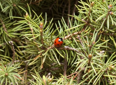 Bugs In Christmas Trees.Invasion How Ladybirds Have Taken Over Christmas Trees This