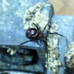 Is it on me? Whoever sent this - from Dunleer in Louth - believed it to be a false widow spider. Doesn't look false to us. Yuck.