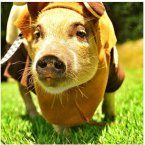 Hailing from São Paulo, Brazil, Jamon the mini-pig melts hearts, one cute outfit at a time.<span class=