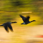 Geese fly past autumn foliage and above the Schuylkill River, in Philadelphia. (AP Photo/Matt Rourke)<span class=