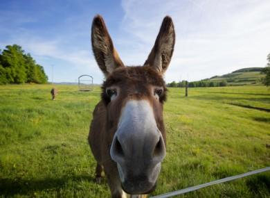 File photo of a donkey.