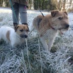 Rufus and Ralf from Monaghan out for a brisk winter walk this morning... <span class=