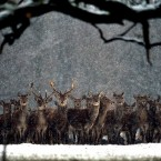 The cold spell continues as deer move through the fresh overnight snow at Raby Castle, in County Durham.<span class=