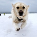 Crystal, a golden retriever, dashes through the snow as she gets away from Danielle Reid, who was walking dogs with her mum, at Revere Beach in Revere, Mass.<span class=