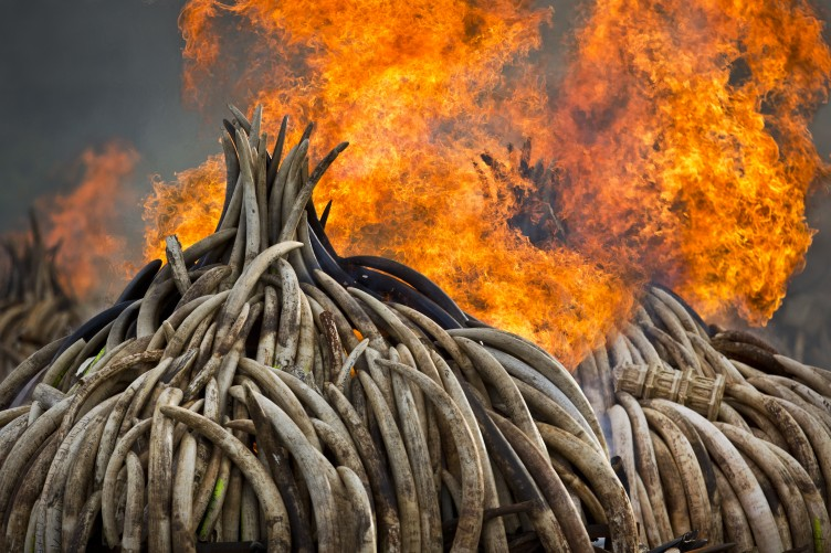 01a655c35 The world s biggest ivory bonfire is happening right now · TheJournal.ie