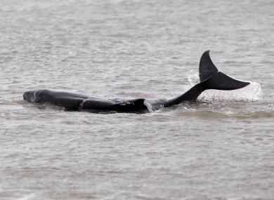 File photo. Whale washing up on Bull Island.