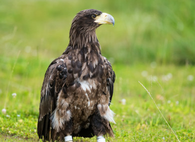 File photo of a white-tailed sea eagle