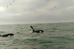 Two killer whales spotted off the coast of Dublin