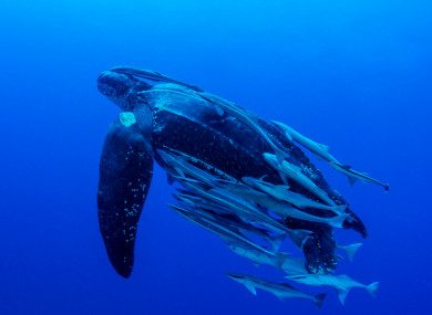 File Photo, Leatherback Turtle