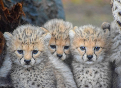 The four Northern cheetah cubs were born in November