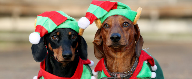 Noodle and Shnitzel take part in a sausage dog festive walk in Hyde Park, London.