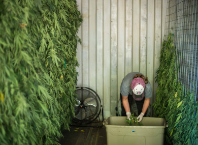 A farmer in California hangs cannabis to be dried in their drying shed.