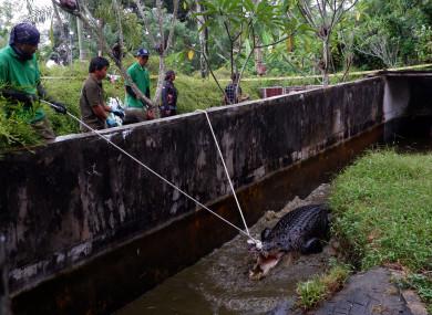 The 4.4 metre crocodile killed Deasy Tuwo