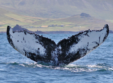 Humpback whale off West Kerry, 7 August 2015