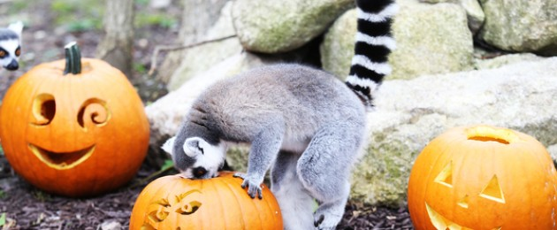 Lemurs Roxy and Rigo getting into the Halloween spirit at Tayto Park this morning