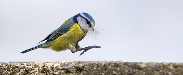 A blue tit on a garden wall in Dublin