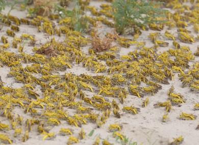File photo of desert locusts.