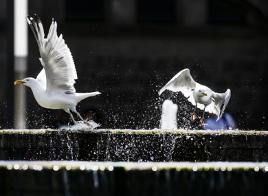 There have been concerns about a spike in seagull numbers inland.